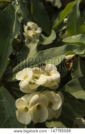 Jumping Spider Hunting On Desert Rose Plant Asia With Distinctive Hairy Body And Strong Powerful Leg