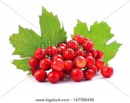 Viburnum berries with leaves close up .
