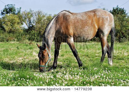 Horse grazing in the prairie