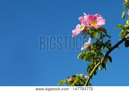 Rose hip, dog rose flower. Blossoming wild rose on blue sky panorama