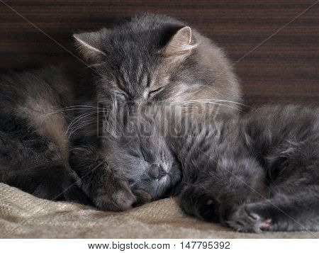 Cute cat and kitten sleeping together hugging each other. gray cats furry different breeds. Concept - heat bliss love