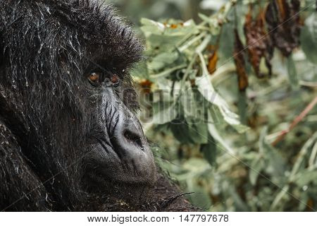 Profile closeup view of mountain gorilla face in the forest