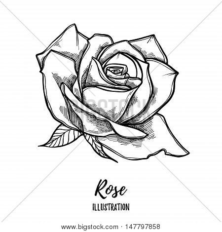 Hand Drawn Vector Illustration - Rose. Floral Tattoo Sketch. Perfect For Tattooing, Invitations, Gre
