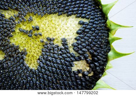 world map made from whole sunflower. Eurasia. concept