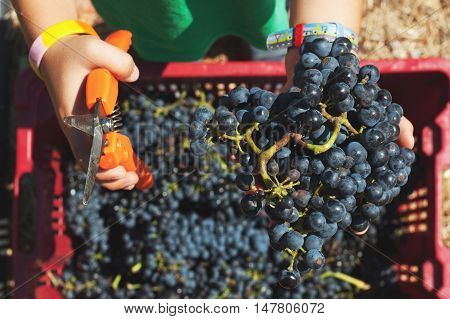 kid holds a pruning hook and a bunche of purple red wine grape in a red tenter