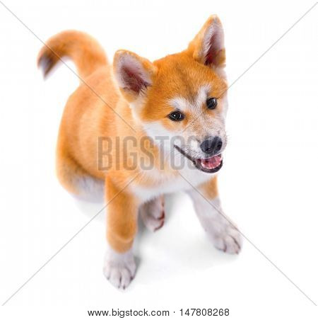 Akita Inu purebred puppy dog isolated on white background. Shiba inu. 3 months old puppy sitting