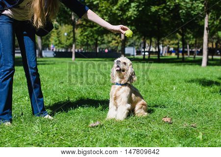 Girl playing with a dog on green lawn in a park. Young purebred American cocker spaniel sitting on green lawn in a park. Woman training her dog.