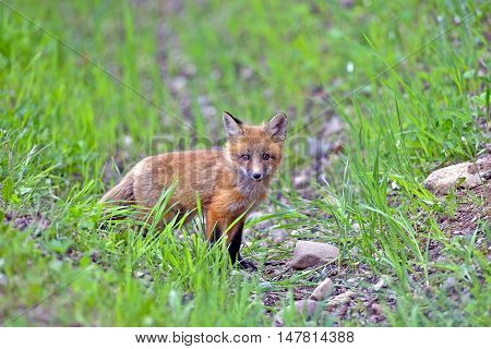 Curious Baby Red Fox standing in grass watching