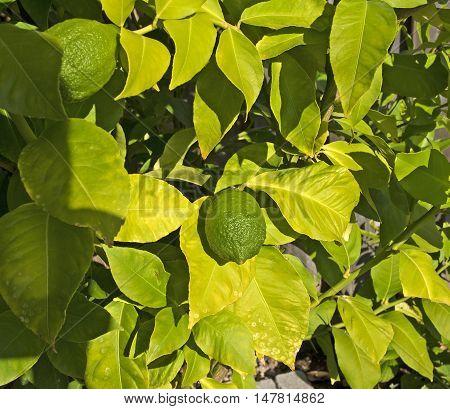 Lemon tree in my garden with growing lemons