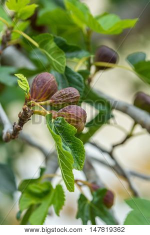 figs ripening on a fig tree ready for harvest