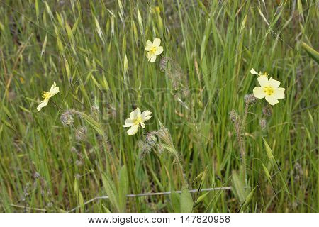Spotted Rock-rose - Tuberaria guttata Four flowers in grass Pegeia Forest Cyprus