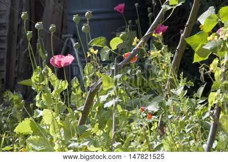 Poppy flowers grow up amongst the runner beans in a suburban garden, Sheffield, UK