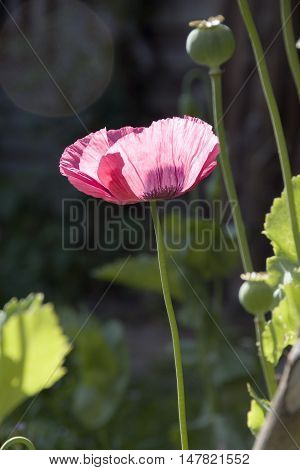 Beautiful and delicate pink petals of a poppy flower in bloom, Sheffield, UK