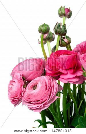 Persian buttercup flowers (ranunculus) isolated white background