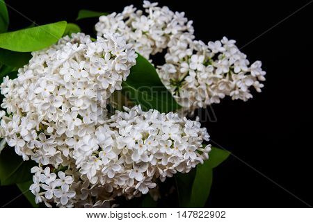 The branch of a white lilac background postcard. Isolated on black.
