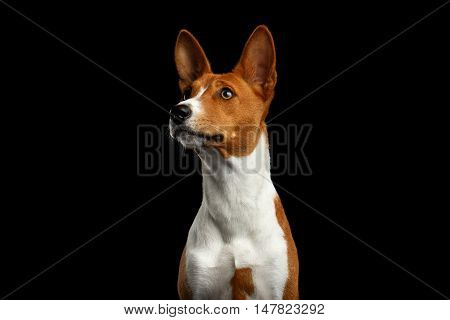 Close-up Pedigree White with Red Basenji Dog Stare up on Isolated Black Background