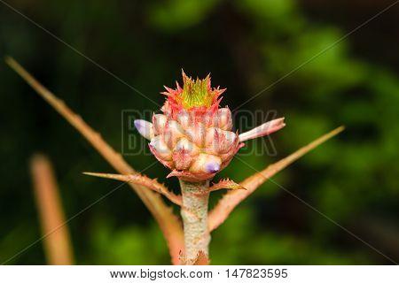 close up bromeliad or Urn Plant flower