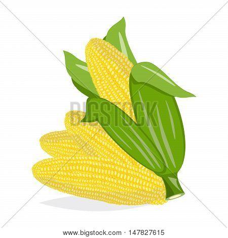 Corn cobs harvest fresh nature vector on white background. Vector set corn natural raw cob agriculture sweet corn. Farm vegetable grain corn maize nutrition leaf vegetarian ingredient.
