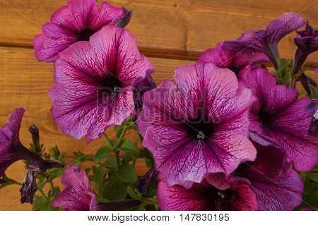 Image Full Of Colourful Petunia  Hybrida Flowers