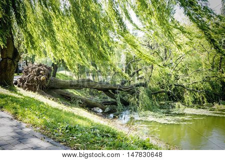 Tree uprooted after wind storm fallen into river.