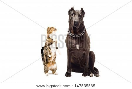 Staffordshire terrier and funny cat Scottish Fold isolated on white background