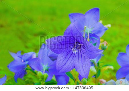 Bellflowers - Platycodon grandiflorus - at the flowerbed. It is commonly known as common balloon flower or balloon flower. Summer flower landscape. Focus at the central bellflower