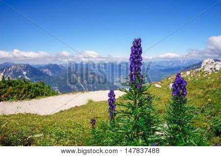 Aconitum napellus or monk's-hood or wolfsbane flowers against alpine mountains poster