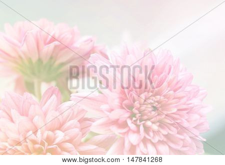 Beautiful pink chrysanthemum flowers as nature background