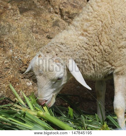 head and front part of young domestic sheep eating fodder stalks near Songkhla, Thailand