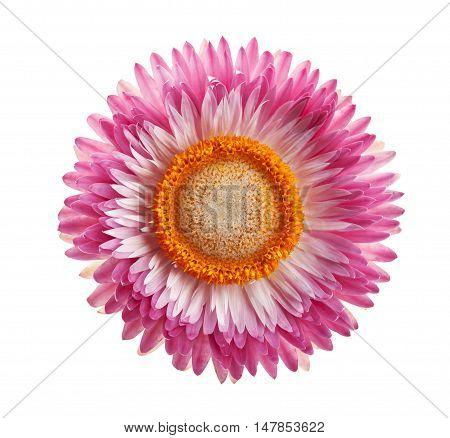 Helichrysum, immortelle or strawflower isolated on white background.