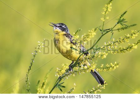 bird the yellow Wagtail sings the song on the bright summer meadow
