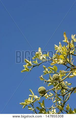 Bergamot orange tree with fruits and leaves on blue sky background Citrus bergamia.