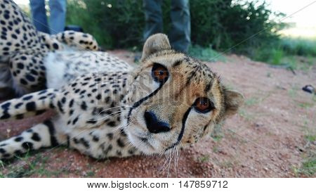 Cheetah in namibian savannah looks to camera