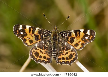 small orange butterfly on green background