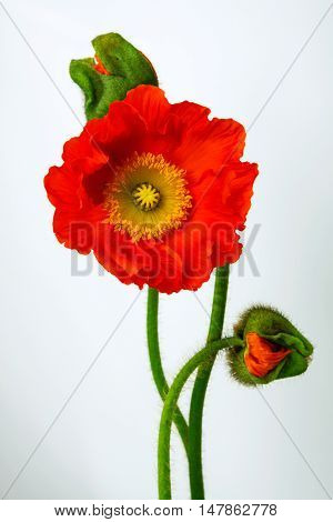 poppies Isolated on white background .  floral,