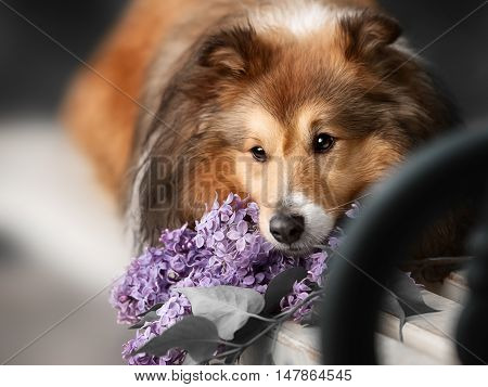 Cute little Sheltie dog with a bouquet of flowers in the spring garden