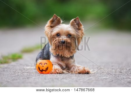 one adorable yorkshire terrier dog posing outdoors