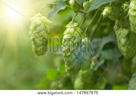 Growing on the branch cones green hops grown for brewing beer, and bread as well as a seasoning for food