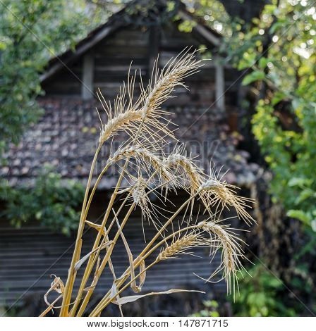 Sheaf  ear of wheat  in background from outbuilding, Zavet, Bulgaria