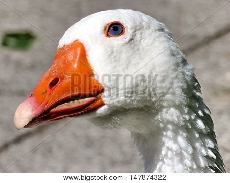 The portrait of White Goose on bank of the Lake Ontario in Toronto Canada September 13 2016