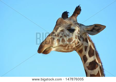Great face of a giraffe against a blue sky.
