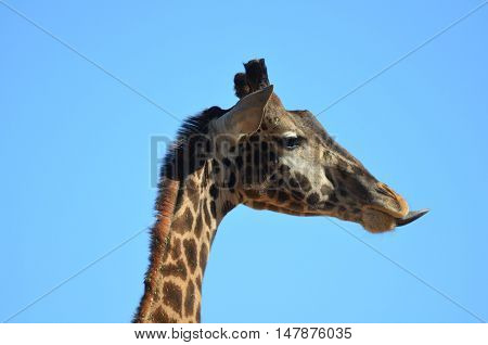 Giraffe sticking out a very long tongue.
