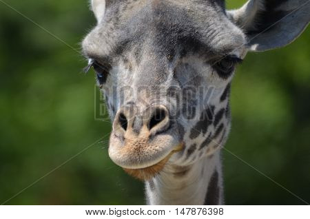 An up close look at the face of a giraffe.