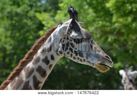 Great side view of a giraffe with a patterned neck