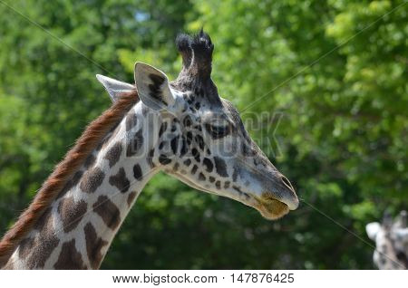 Great look at the profile of a giraffe.
