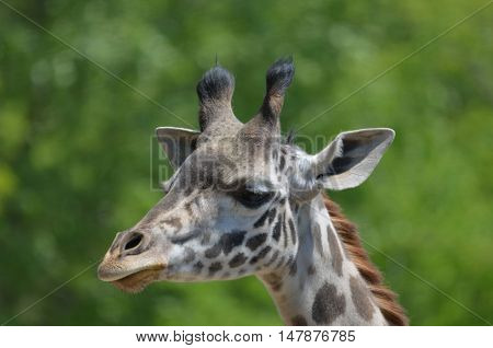 Lovely up close look at a giraffe.