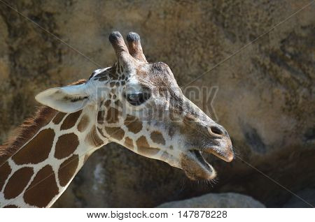 Giraffe with his mouth very wide open