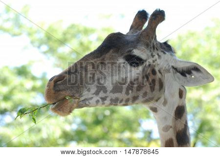 Giraffe munching on a tree branch in the wild.