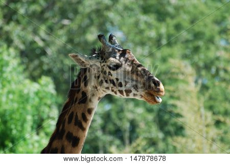 Giraffe with his mouth slightly parted with a wooded background