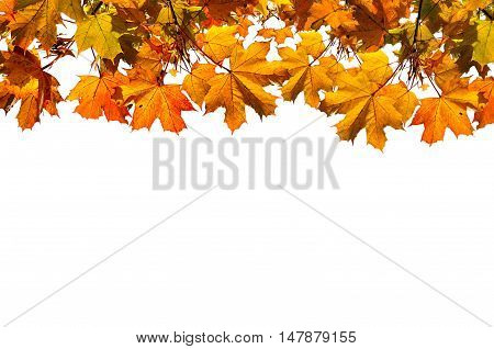 Autumn nature background with free space for text - colorful orange autumn maple leaves isolated on the white background. Autumn background with maple autumn leaves isolated on white.